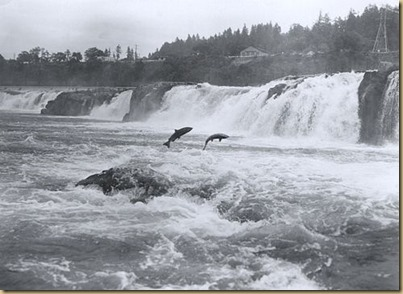 495px-Salmon_leaping_at_Willamette_Falls